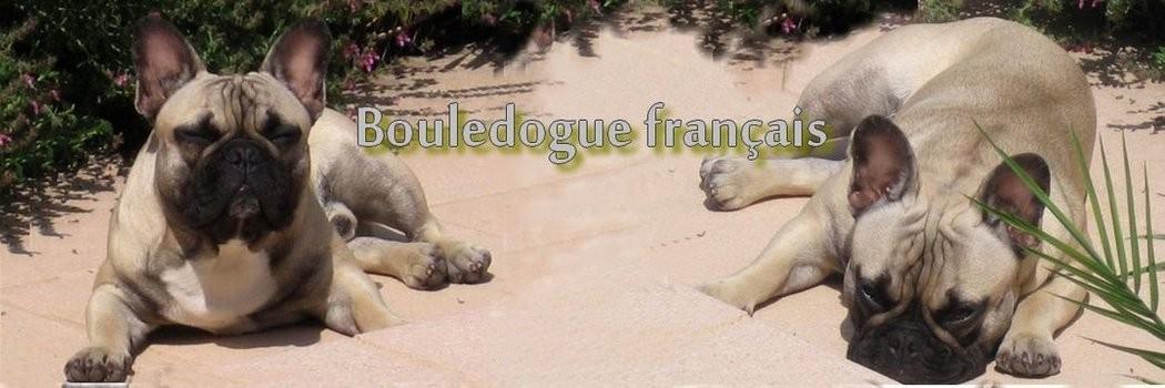 Voir les chiots bouledogue français à vendre à l\'élevage